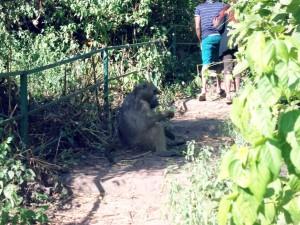 Gigantic Baboon